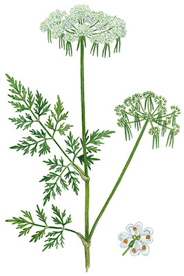 Almindelig hundepersille - Aethusa cynapium var. cynapium - Fool's Cicely, Poison Parsley