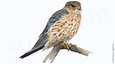 Dværgfalk - Falco columbarius - Merlin