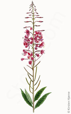 Gederams - Chamaenerion angustifolium, Epilobium angustifolium  - Fireweed, Narrow-leafed Willow-herb, Rosebay Willow-herb