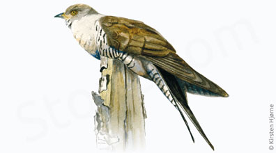 Gøg - Cuculus canorus - Common cuckoo
