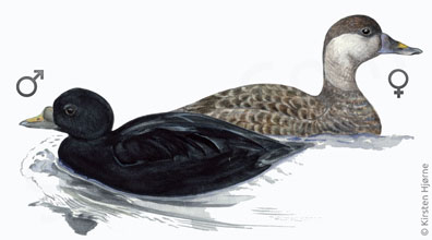 Sortand - Melanitta nigra - Common Scoter
