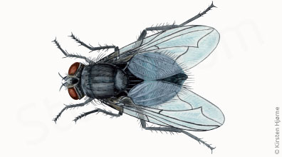 Spyflue (Almindelig) - Calliphora vomitoria - Blue bottle fly