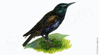 Stær - Sturnus vulgaris - European starling, Common Starling